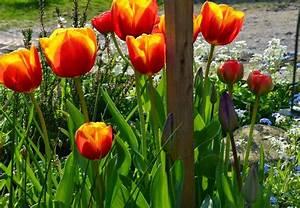 Tulpen Im Garten : felix traumland tulpen tulpen und noch mal tulpen ~ A.2002-acura-tl-radio.info Haus und Dekorationen