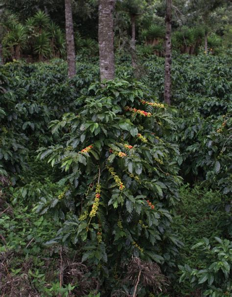 Coffee plantations to visit in ethiopia can be found in the kaffa, sidama, yirgacheffe, limmu, harrar, and jimma. Widespread indicators of forced labour on Guatemala's coffee plantations | Danwatch
