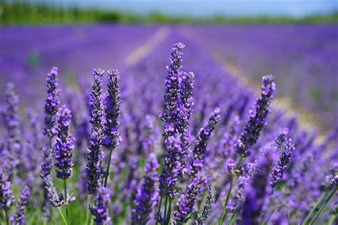 close  photo  lavender growing  field  stock photo