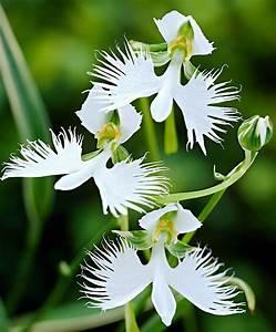 Weiße Stauden Mehrjährig : wei e vogelblume stauden bakker mein garten explodiert blumen orchideen und garten ~ Eleganceandgraceweddings.com Haus und Dekorationen