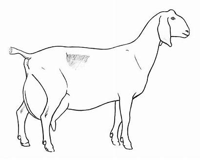 Goat Dairy Pages Clipart Coloring Goats Drawings