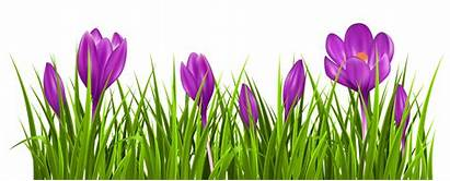 Crocus Grass Clipart Transparent Spring Plant Flower