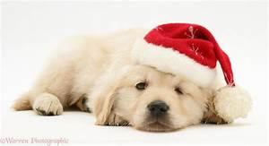 Golden Retriever Christmas Backgrounds 1 High Resolution ...