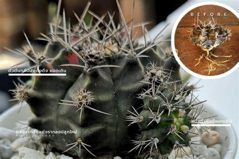 เปลี่ยนดินตัดแต่งราก เพื่อฟื้นฟูกระบองเพชรต้นเหี่ยว โคนต้น ...