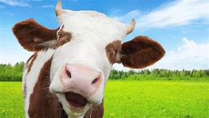 Funny Cow | www.pixshark.com - Images Galleries With A Bite!