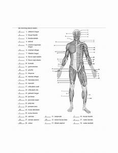 Blank Muscle Diagram To Label - Anp1106 - Uottawa