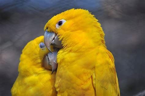golden conure golden conures on pinterest conure parakeets and parrots
