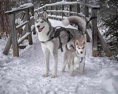 1280 1600 Huskies Siberian 1024 1200