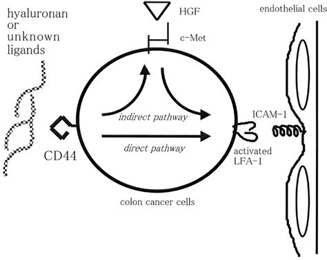 Functional relevance of CD44 to extravasation of colon ...