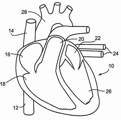 Circulatory System Coloring Drawing Pages Cardiovascular Heart