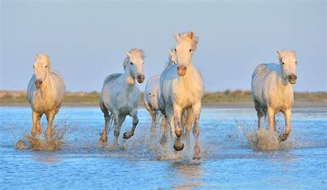 jeux de cuisine service images de la provence chevaux sauvages en camargue signes et sens communiqué de presse