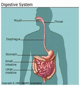 10 Interesting Digestive System Facts