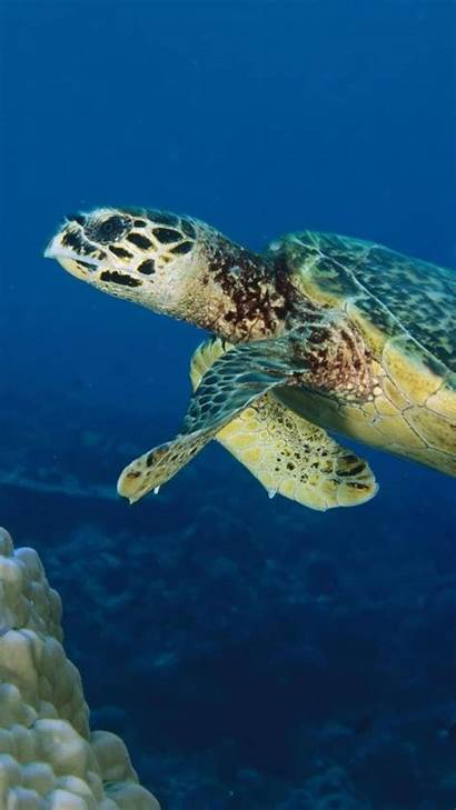 Sea Turtle Turtles Wallpapers Iphone Coral Reef