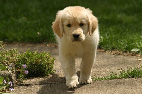 Golden Retriever Puppy Rob Kleine Flickr