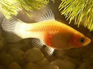 PLEASE HELP IS MY PLATY PREGNANT?! EASY 10 POINTS FOR ALL ...
