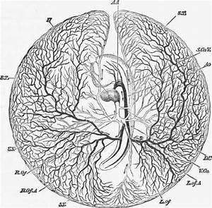 Development Of The Heart In The Human Embryo  From The