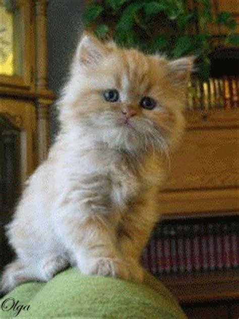 gifs de gatos imagenes  movimiento de gatos