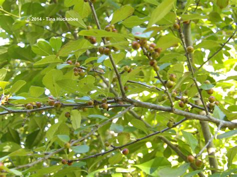berries tree texas native plant week seeds n berries my gardener says