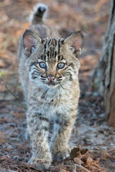 Images About Big Cats Pinterest Tigers Jaguar