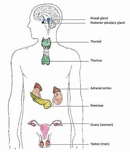 Endocrine System  This Site Is A Great Source Of Information On The Endocrine System  As Well As