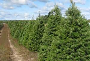 douglas fir wholesale trees
