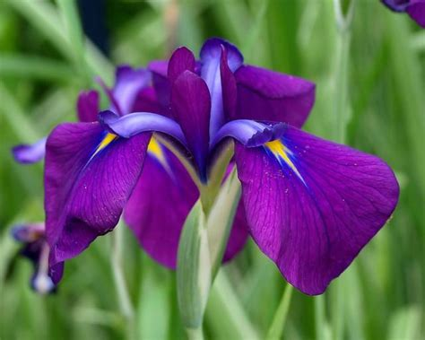 iris flower care iris flower good meaning with good care typesofflower com