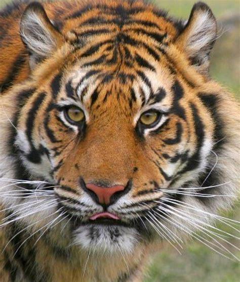 Animal: Tiger Majestic animals Wild tiger