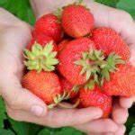 Erdbeeren Pflanzen Die Wichtigsten Tipps : mypfadfinder das online magazin f r lifestyle ern hrung ~ Lizthompson.info Haus und Dekorationen