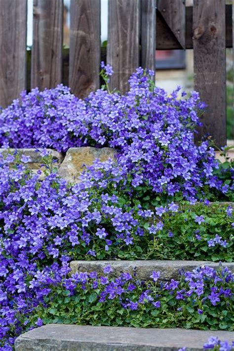 blue ground cover flowers canula poscharskyana serbian bellflower trailing bellflower is a semi evergreen trailing