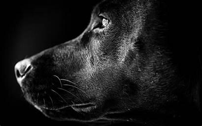 Wallpapers Profile Labrador Lab Portrait 4k Desktop