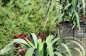 Yucca Palme Braune Blätter : yucca palme bekommt braune spitzen woran liegt 39 s ~ Lizthompson.info Haus und Dekorationen