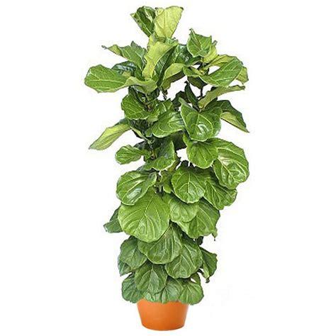 ficus lyrata ficus lyrata bush plantshed com
