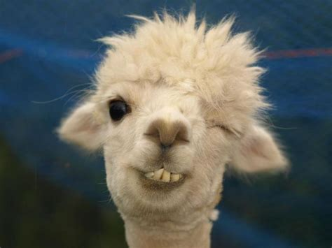 llama smiling hilarious one eyed llama face from the quot get olympus quot facebook page on dec 11 2012 funnies