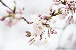 Washington Dc Cherry Blossom Watch Update  March 8  2017