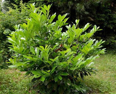 vermehrung kirschlorbeer kirschlorbeer vermehren tipps anleitung vom profi plantura
