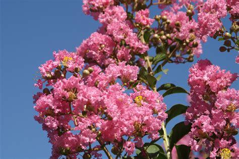 alberi con fiori rosa giardini