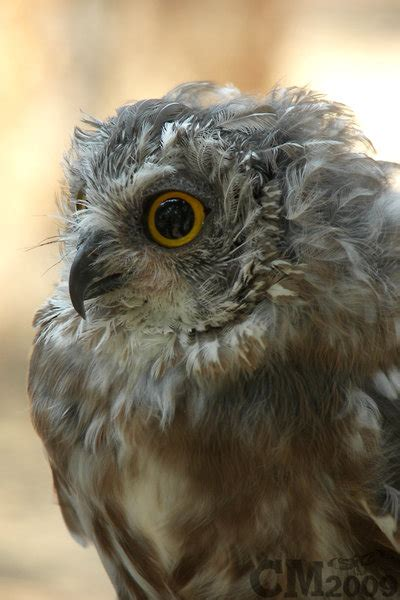 molting northern saw whet owl by ciameth on deviantart