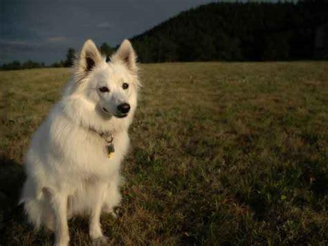 american eskimo dog toy breed american eskimo dog toy