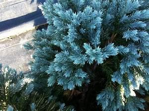 Blue Star Juniper - Pics about space
