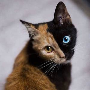 Cats La : meet quimera a chimera cat with a purrfectly two toned face ~ Orissabook.com Haus und Dekorationen