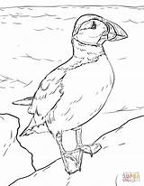 Puffin Atlantic Coloring Pages Seabird sketch template