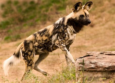 african wild dog facts animal facts encyclopedia