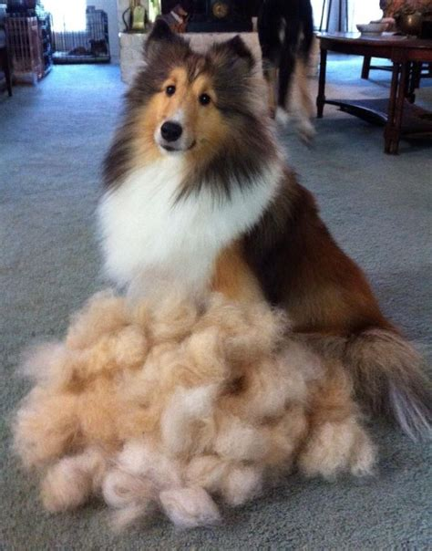 what dogs dont shed thing that shelties don t shed sheltie