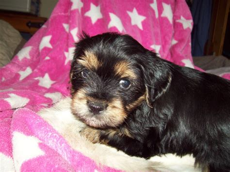 cavachon  yorkie puppies cheadle greater manchester