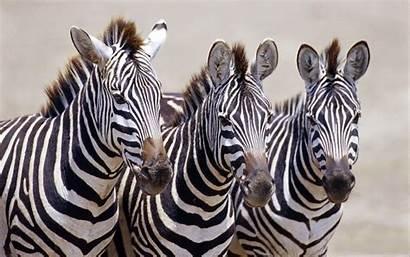 Zebra Desktop Wallpapers Three