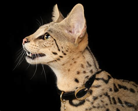 F1hybrids Savannah Cats