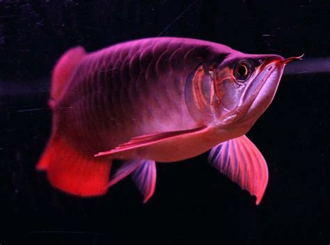red arowana wallpaper gallery
