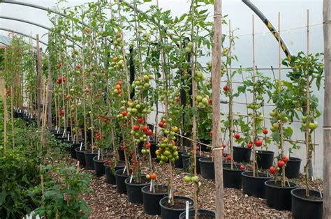 how to grow tomatoes growing tomatoes out of my shed