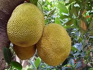 5 Giant Jackfruit Plant Seeds , Tropical Novelty ,Worlds ...
