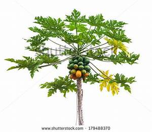 Papaya tree clipart - Clipground